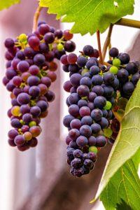 grapes 3681877 960 720 200x300 - Resveratrolo: come ci protegge dai virus